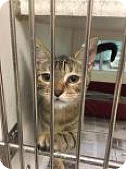 Domestic Shorthair Cat for adoption in Columbus, Georgia - Annie Wilkes 7127