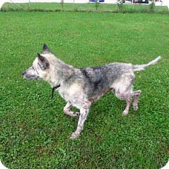German Shepherd Dog/Husky Mix Dog for adoption in Janesville, Wisconsin - Scout