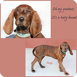 Plott Hound Mix Puppy for adoption in Idaho Falls, Idaho - Magi