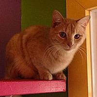 Domestic Shorthair Cat for adoption in Topeka, Kansas - Cyrus