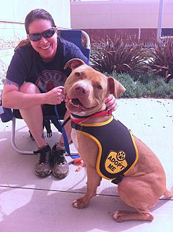 American Staffordshire Terrier/Labrador Retriever Mix Dog for adoption in Ojai, California - BRAVO