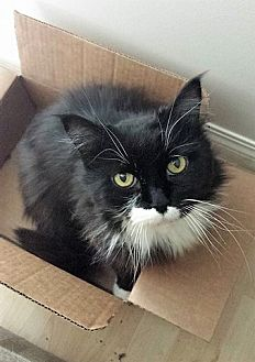 Domestic Longhair Cat for adoption in Vancouver, British Columbia - Trixie