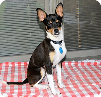 Rat Terrier/Chihuahua Mix Dog for adoption in Granbury, Texas - Dinah
