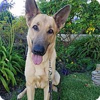 Adopt A Pet :: Carrie - Beautiful Best Friend - Federal Way, WA