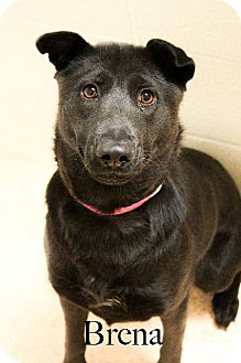 Labrador Retriever Mix Dog for adoption in El Paso, Texas - Brena