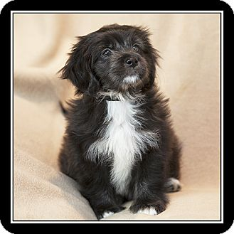 Shih Tzu/Maltese Mix Puppy for adoption in San Diego, California - Oreo
