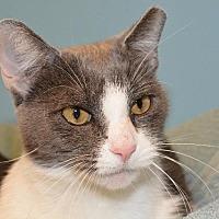 Domestic Shorthair Cat for adoption in Cincinnati, Ohio - Thelma