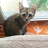 Adopt A Pet :: Orchid - Middletown, NY