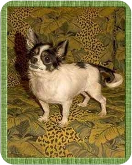 Chihuahua Dog for adoption in North Palm Beach, Florida - Sterling
