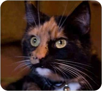 Domestic Longhair Cat for adoption in Cincinnati, Ohio - Kashmir and Saribi