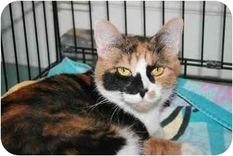 Domestic Shorthair Cat for adoption in Westbrook, Maine - Heather