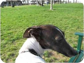 Italian Greyhound Dog for adoption in Croton, New York - Maia and Sasha - Adopted