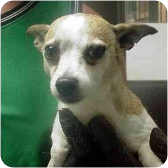 Chihuahua Dog for adoption in Manassas, Virginia - Chloe