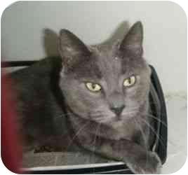 Domestic Shorthair Cat for adoption in Port Jefferson Station, New York - Tom