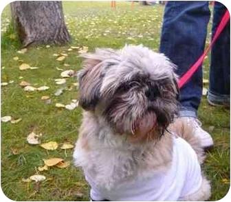 Shih Tzu/Pekingese Mix Dog for adoption in Calgary, Alberta - Olie