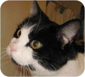 Domestic Mediumhair Cat for adoption in Columbia, Illinois - Mickey