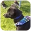 Photo 2 - Dachshund Mix Puppy for adoption in Patterson, California - CRICKET
