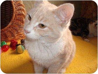 Domestic Shorthair Kitten for adoption in Morris, Pennsylvania - Simon