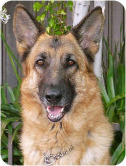 German Shepherd Dog Dog for adoption in Los Angeles, California - Dasa von Hollywood