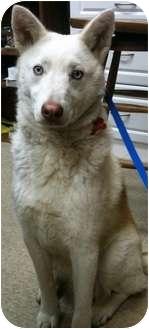 Alaskan Malamute/Husky Mix Dog for adoption in Wasilla, Alaska - Grizz
