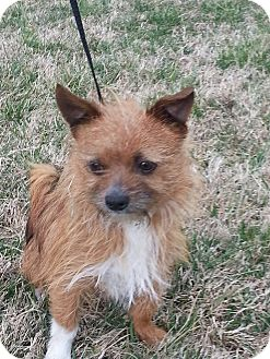 Cairn Terrier/Terrier (Unknown Type, Small) Mix Dog for adoption in Harrisonburg, Virginia - Dante