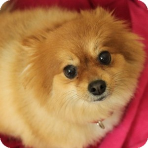 Pomeranian Mix Dog for adoption in Naperville, Illinois - Rosie