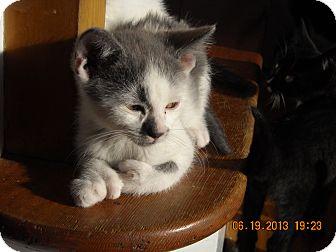 Domestic Shorthair Kitten for adoption in Riverside, Rhode Island - Nolan