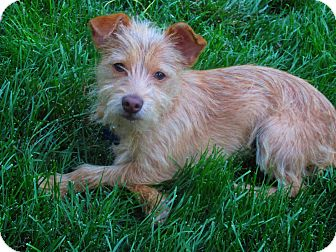 Terrier (Unknown Type, Small) Mix Puppy for adoption in Bellflower, California - Henri