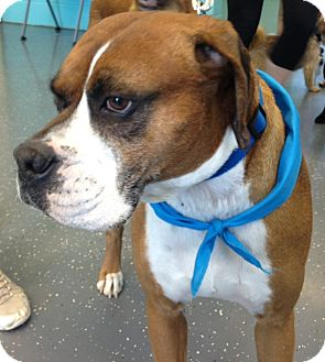 Boxer Mix Dog for adoption in Chattanooga, Tennessee - Roscoe