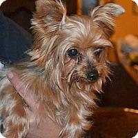 Adopt A Pet :: Midget - Greensboro, NC