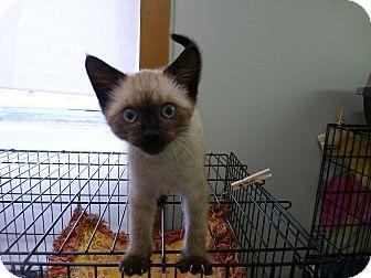 Siamese Kitten for adoption in Quincy, California - Arlie