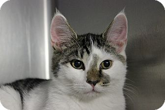 Domestic Shorthair Cat for adoption in Voorhees, New Jersey - Malcom-PetValu
