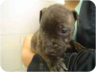 American Pit Bull Terrier Mix Puppy for adoption in Walker, Michigan - Lucy