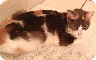 Calico Cat for adoption in Satellite Beach, Florida - Mimi (RG)