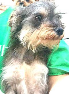 Schnauzer (Miniature)/Poodle (Toy or Tea Cup) Mix Dog for adoption in Boulder, Colorado - Mitzi-ADOPTION PENDING
