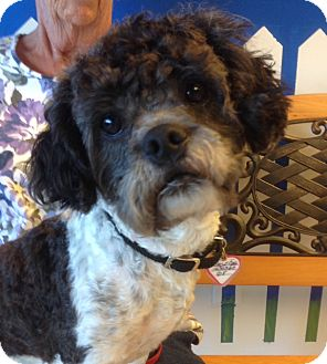 Maltese/Poodle (Miniature) Mix Dog for adoption in Studio City, California - Douglas