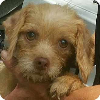 Terrier (Unknown Type, Small)/Shih Tzu Mix Dog for adoption in Mary Esther, Florida - Baby