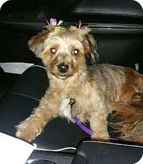 Yorkie, Yorkshire Terrier Mix Dog for adoption in Bronx, New York - Hannah