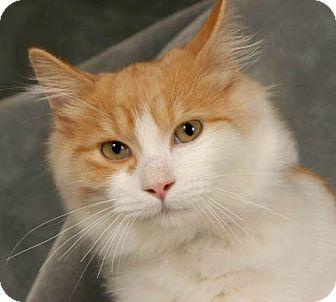 Domestic Mediumhair Kitten for adoption in Libertyville, Illinois - Noah