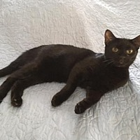 Domestic Shorthair Cat for adoption in Madison, New Jersey - Audrey