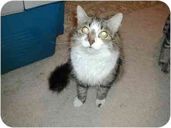 Domestic Mediumhair Cat for adoption in Toronto, Ontario - Snuggles