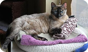 Siamese Cat for adoption in Prescott, Arizona - Galaxy