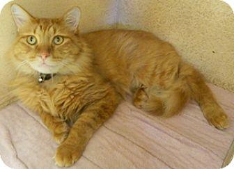 Domestic Longhair Cat for adoption in Columbus, Nebraska - Miguel