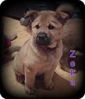 Chow Chow/German Shepherd Dog Mix Puppy for adoption in Denver, North Carolina - Zeka