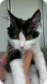 Domestic Mediumhair Kitten for adoption in Chambersburg, Pennsylvania - Panda