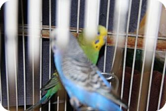 Parakeet - Other for adoption in Greensboro, North Carolina - Twitter