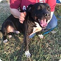 Pit Bull Terrier Mix Dog for adoption in Natchitoches, Louisiana - Mills