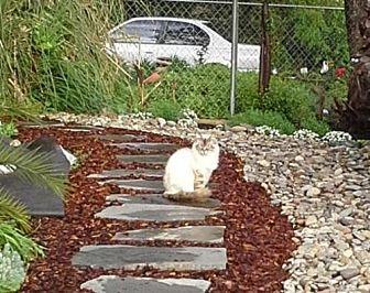 Himalayan Cat for adoption in Redding, California - Cooper