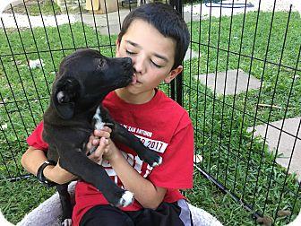 Corgi/Labrador Retriever Mix Puppy for adoption in Boerne, Texas - Boris