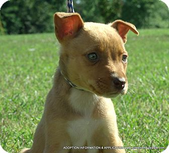 Chihuahua/Terrier (Unknown Type, Medium) Mix Puppy for adoption in Waterbury, Connecticut - Hazel/ADOPTED